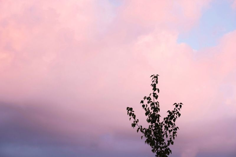 Low angle view of pink plant against sky