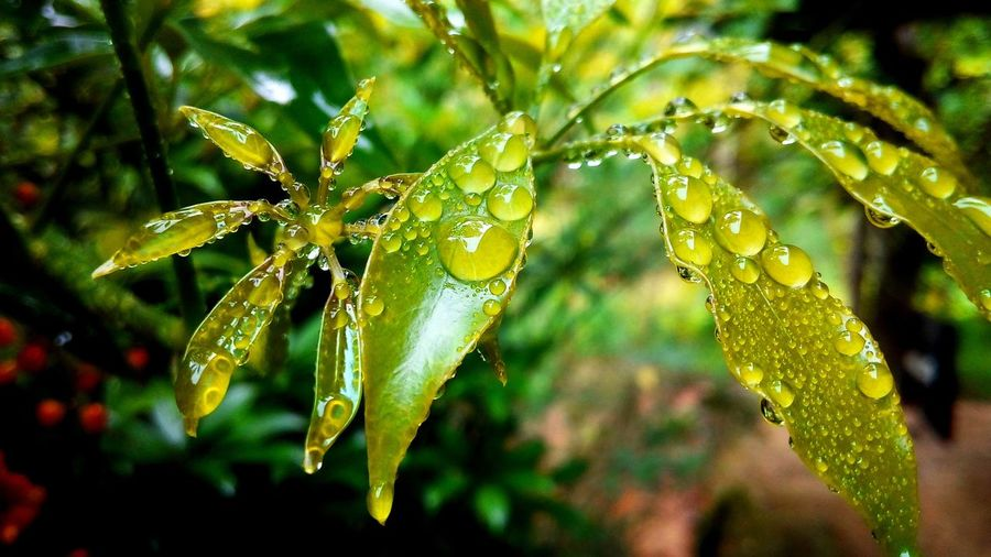 Drop Water Wet Plant Green Color Close-up Growth Nature Freshness Focus On Foreground Beauty In Nature Rain Leaf Plant Part Rainy Season Dew Colorful Wildlife & Nature Forest Fresh Concept Beauty In Nature Wall Art Outdoors Selective Focus