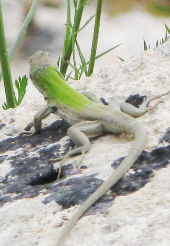 Lizard Lizard