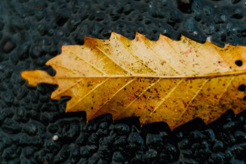 Dry yellow leaf on the street Leaf Plant Part Yellow No People Nature Close-up Autumn High Angle View Water Leaf Vein Outdoors Natural Pattern Pattern Beauty In Nature Change Falling Day Wet