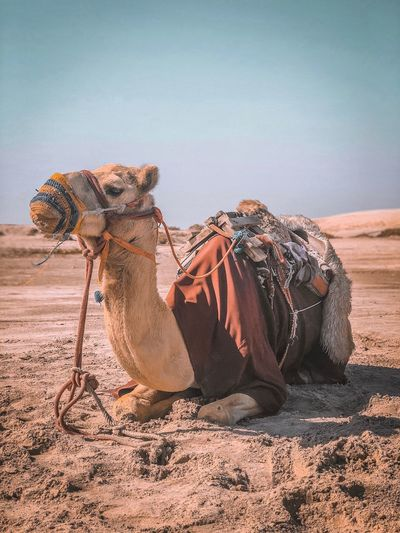 Camel in Sealine Desert Qatar Doha Desert Sealine Land Sand Sky Animal Nature Animal Themes Desert No People Sunlight Mammal Vertebrate Day Camel Clear Sky Beach Climate Domestic Animals Arid Climate Outdoors Scenics - Nature