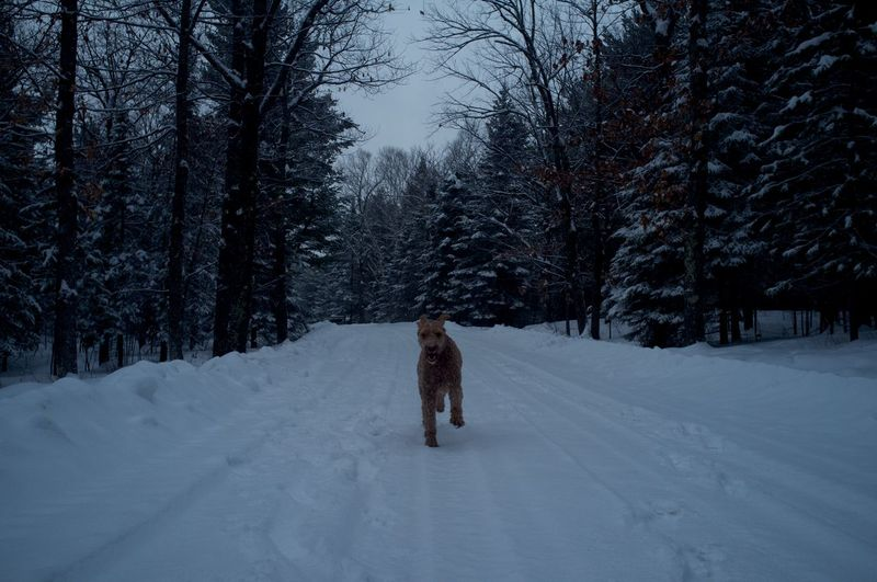 Goldendoodle running on snowy field amidst trees at dusk