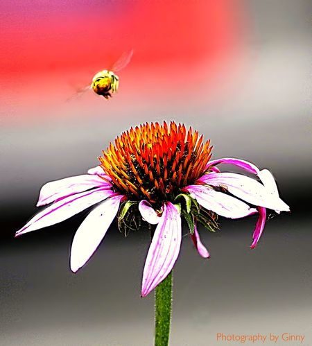 Painted Daisy and a Bee Flying away Flower Nature Beauty In Nature No People Insect Flower Head Blooming