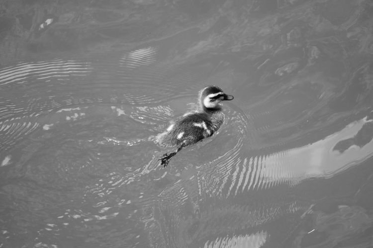 High Angle View Of Duckling Swimming In Lake