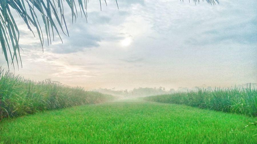 Agriculture Rural Scene Nature Crop  Field Beauty In Nature Cloud - Sky Landscape Fog
