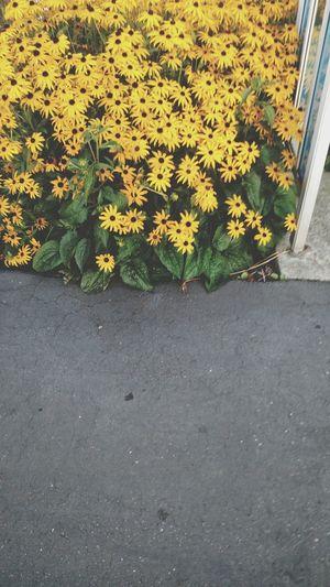 Stunning Flowerporn 🌷 Flowers 🌹 Flowerpower🌸 Flowers Flowerpower Downbythebay Boulevard Yellow Flower