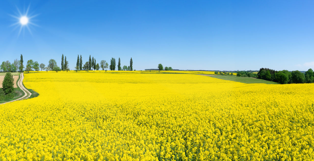 Rural spring landscape with lush blooming rapeseed in the sunshine Agriculture Farmland Field Nature Rapeseed Field Rural Tree Bloom Blooming Blossom Blossoming  Canola Canola Field Countryside Cultivated Farming Landscape Rapeseed Row Of Trees Scenery Season  Spring Sun Sunshine Yellow