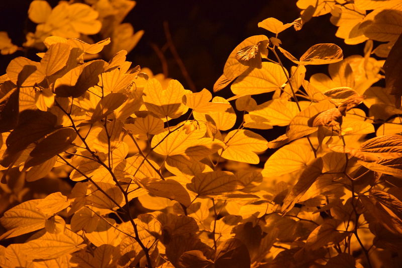 Leaves_collection Orange Color Orange Leaves Beauty In Nature Street Lamps Orange Light Effects No Edits No Filters Taking Pictures Bestoftheday Incredible_shot EyeEmBestPics Nature's Diversities Nature On Your Doorstep Natural Pattern Check This Out Amritsar Punjab India Indian