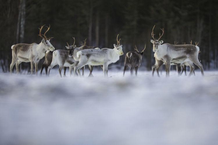 Reindeers on snowcapped field during winter