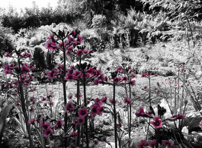 Pond Water Flower Flowers Pink Pink Flowers Black White And Color Black White And Pink.