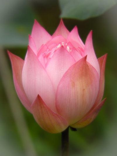 Like the lotus,