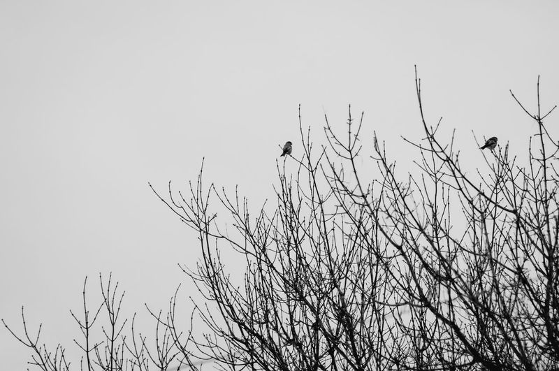 Animal Themes Animals In The Wild Barren Bird Silhouettes Birds Birds In A Tree Birds Perched In A Birds Perching Cloudy Skies Cold Cold Temperature Day Finch Finches Finches In A Tree Nature No People One Animal Outdoors Plant Silhouettes Tree Silhouette Wildlife Winter Winter Trees