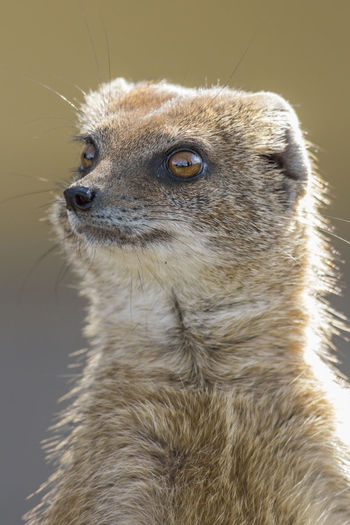 Africa Animal Head  Animal Themes Animals In The Wild Mammal Mongoose No People One Animal Predator South Africa Wildlife Yellow Mongoose