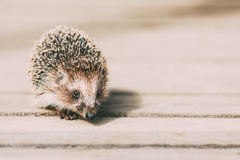 Cute Funny Lovely Hedgehog Standing On Wooden Floor Animal Beautiful Brown Cute Floor Forest Animals Hedge Hedge-hog Hedgehog Nature Pet Rustic Small Wild Wooden Young Funny Lovely
