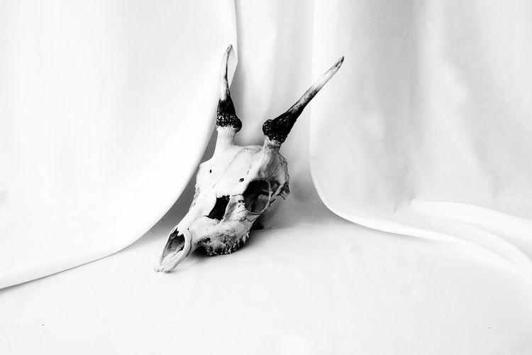 skull 03 Mammal Animal Studio Shot Still Life Fabric Black And White Photography Texture White Deer Skull Horn Bone  Skull