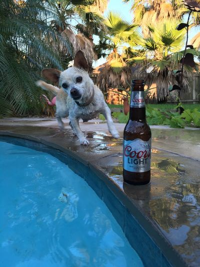 Chuhuahua Hanging Out Relaxing Beer Live For The Story