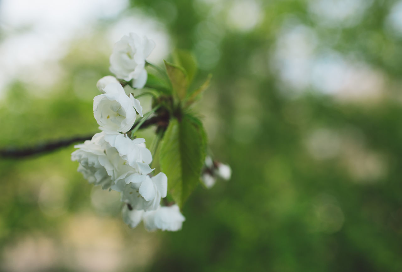 flower, flowering plant, plant, beauty in nature, freshness, fragility, vulnerability, growth, petal, white color, close-up, nature, day, focus on foreground, no people, flower head, inflorescence, selective focus, blossom, tree, springtime, outdoors, cherry blossom