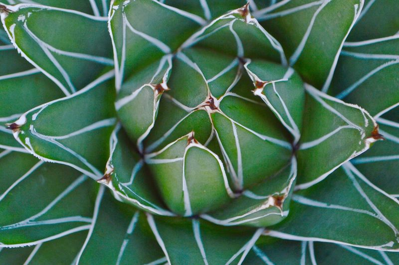 eye pleasing Outdoors Botany Botanical Garden Botanical Nature Nature_collection Nature Photography Naturelovers Beauty In Nature Details Of Nature Pattern Pattern, Texture, Shape And Form Shape Lines Lines And Shapes Lines, Shapes And Curves Repetition Repetitive Repetitive Pattern Design Beauty Green Color Green Earth Plant Growth Leaf Plant Part Close-up No People Succulent Plant Day Backgrounds Full Frame Cactus Focus On Foreground High Angle View Freshness Natural Pattern Directly Above Spiky Fragility Textured  Focus Plant My Best Photo The Minimalist - 2019 EyeEm Awards