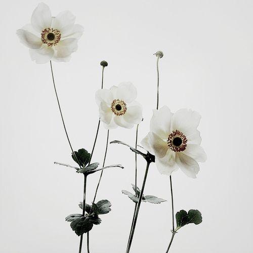 Flowers Flower Quasimono Japanese Anemone Anemone