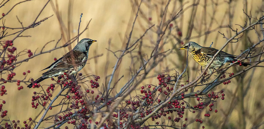 Fieldfares Animal Animal Themes Animal Wildlife Animals In The Wild Vertebrate Bird Plant Perching Tree Focus On Foreground Branch Two Animals Nature Day No People Beauty In Nature Outdoors Selective Focus