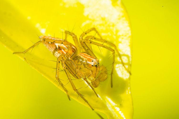 細紋貓蛛 Yellow