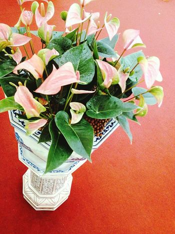 Anthurium Flower Anthurium Flower Flowers In Pot Flower Collection Flower Photography Beautiful Flower Beauty Of Flower Color Of Flower Flower Color Close Up Close Up Photography Close Up Flower Flower And Leaf Flower And Leaves
