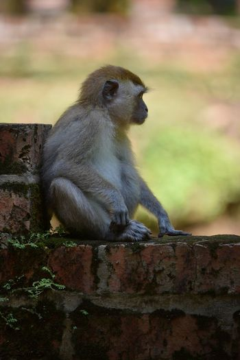 Macaque Monkey Ape Ipoh Malaysia Primate Full Length Animals In The Wild One Animal Animal Sitting Ape Animal Wildlife Animals In The Wild Outdoors No People Nature Day Animal Themes Close-up Brick Wall Visit Ipoh Young Beauty In Nature Baby Monkey