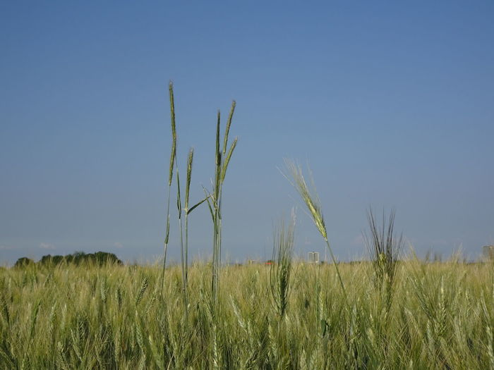 Agriculture Beauty In Nature Blue Clear Sky Crop  Day Environment Field Grass Green Color Growth Land Landscape Nature No People Outdoors Plant Scenics - Nature Sky Stalk Tranquil Scene Tranquility