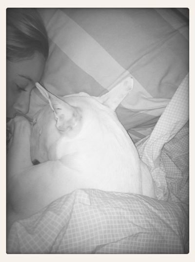 Bullterrier Sleeping Love Sweet ✨?❤️ ma bulette d'amour