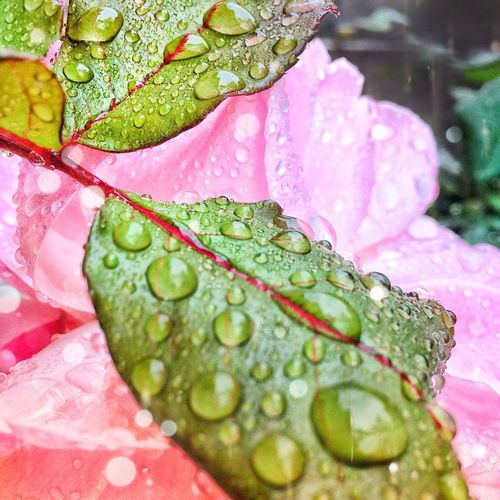 EyeEmNewHere rose Drop Water Nature Freshness Wet Close-up Leaf Green Color Outdoors