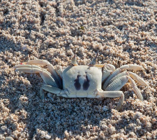 High angle view of crab at sandy beach