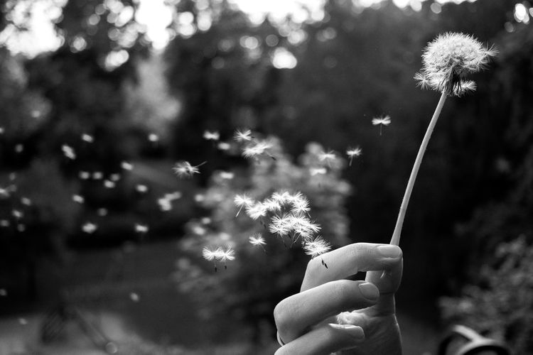 Black And White Blackandwhite Dandelion Flower Focus On Foreground Holding Human Body Part Human Finger Human Hand Nature The Great Outdoors - 2017 EyeEm Awards