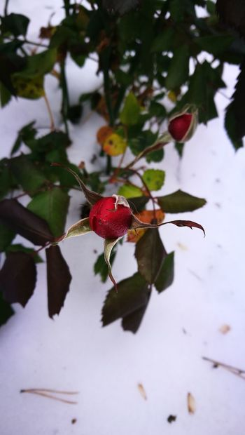 Nature Red Leaf Close-up Beauty In Nature No People Growth Outdoors Snow Rose🌹 Helsinki, Finland November 2016 Coldoutside Staying Strong Staying Alive Day Frozen Frozen Nature Exeptional Photographs