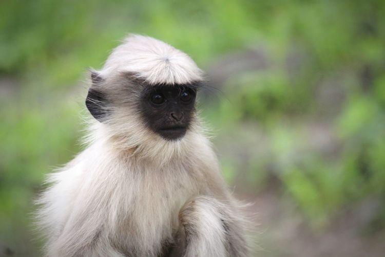 Indian Gray langur Langur Hanuman Langur Indian Langur Gray Langur Indian Monkeys Monkey Face White Monkey Gray Monkey Langoor Daulatabad Fort EyeEm Selects Baboon Ape Defocused Portrait Cute Primate Close-up Grass Animal Body Part