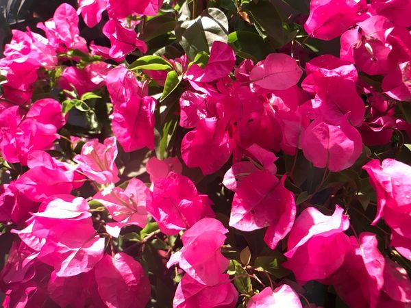 Flower Petal Growth Beauty In Nature Pink Color Fragility Nature Bougainvillea Freshness Plant Flower Head Blooming