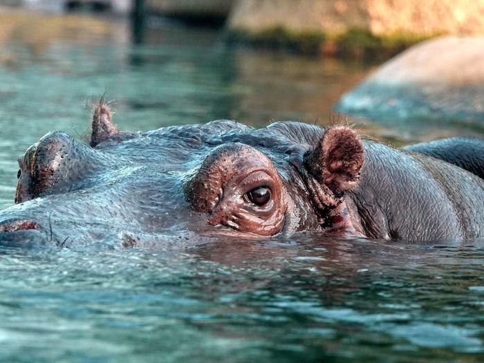 Animals Hippo Animal Animal Themes Animals In The Wild Animal Wildlife Water One Animal Vertebrate Swimming Nature No People Close-up Lake Animal Head  Mammal Selective Focus Animal Body Part
