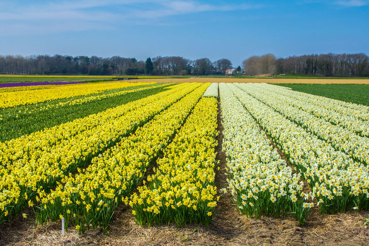 Flowering Plant Flower Plant Beauty In Nature Growth Nature No People Field Day Tulips Flower Fields Spring Flowers Dutch Flower Fields Vibrant Natural Color Beauty In Nature Keukenhof Garden Botanical Daffodils Flowers Hyacinth Flower Backgrounds Natural Nature Tourism Destination