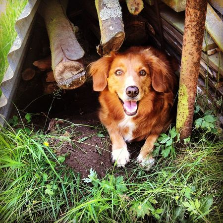 Dog Nsdtr She dug a burrow like a badger, to be cooled in the summer heat.