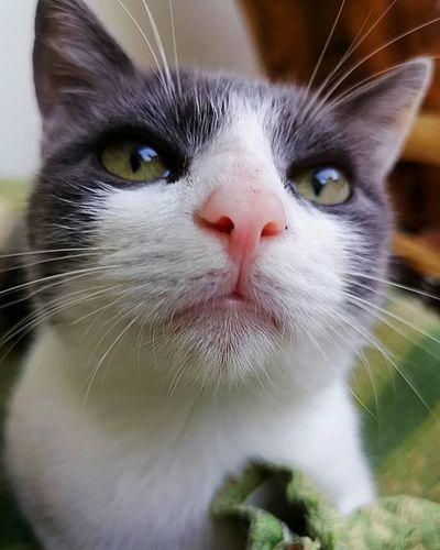 ❤️👀❤️ Cat Gatto Eyes Love Pic Picoftheday Picture Pictureoftheday Photo Photooftheday Photography Catpic Catstagram Instacat Instalike Instaphoto Instapic Instagood Instamoment Instalove Lovecat  Tenderlove Beautiful Beautifulcat Beautifuleyes Cat Lovers Cats Of EyeEm
