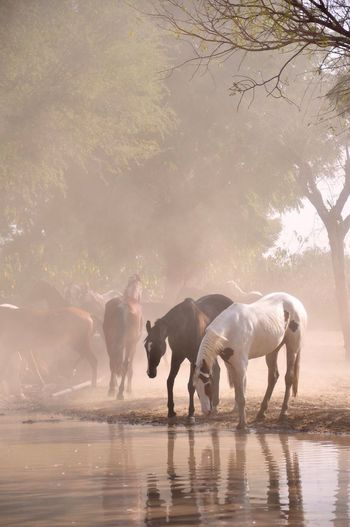 Mawari Horse India Horse