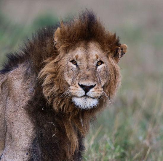 Portrait Of Lion Outdoors