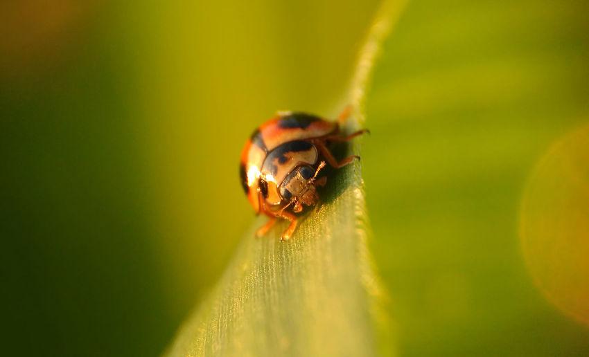 Ladybug Maneh Beautiful Beautiful Nature Great Shot☆ Green Ladybug Ladybug🐞 Macro Photography Morning Nature Animal Themes Animal Wildlife Animals In The Wild Bokeh Close-up Day Great Shot Insect Ladybug Macro Morninglight Nature No People One Animal Outdoors