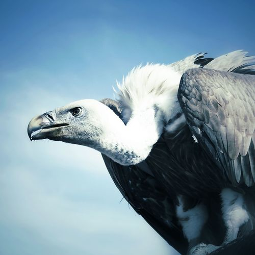 Close-up of vulture against sky