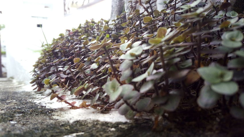 Plantae Series Nature Growth No People Leaf Tree Close-up Beauty In Nature Outdoors Plant Day White Walkway