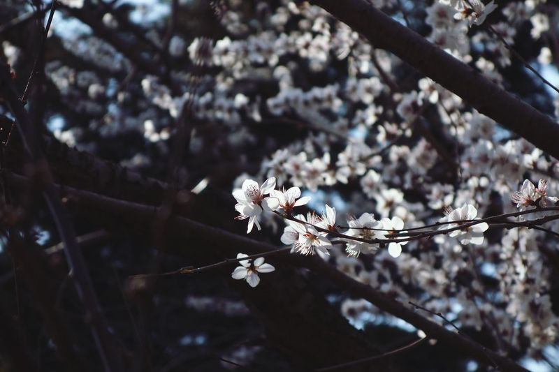 Flower Cherry Blossom Fragility Blossom Branch Apple Blossom Beauty In Nature Springtime Cherry Tree Nature