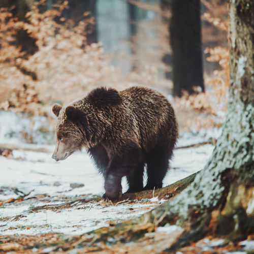 Animals In The Wild Bear Livestock Nature Tree Trees Wilderness Area Animal Themes Animal Wildlife Animals In The Wild Brown Bear Day Forest Look Mammal Nature Nature_collection No People One Animal Outdoors Portrait Walking Wild Wilderness Wildlife