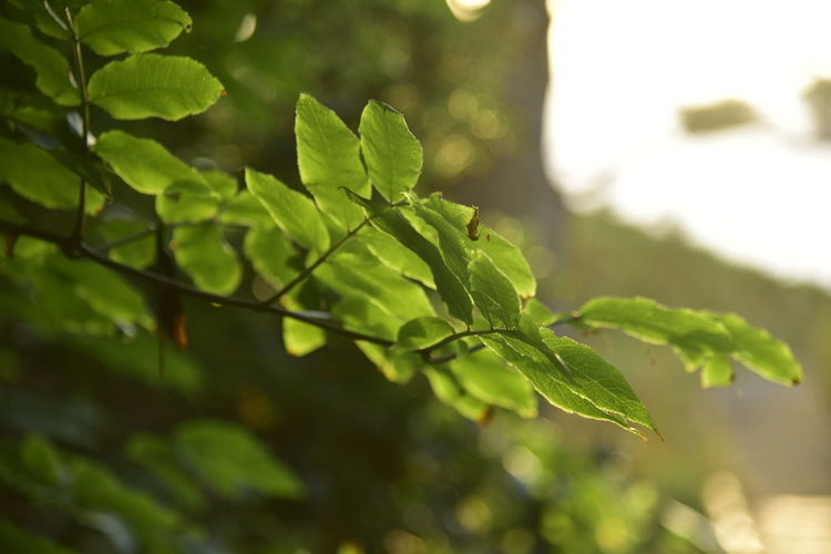 Green Color Shallow Depth Of Field Beauty In Nature Close-up Day Fragility Freshness Green Color Growth Leaf Leaves Nature No People Outdoors Plant Tree