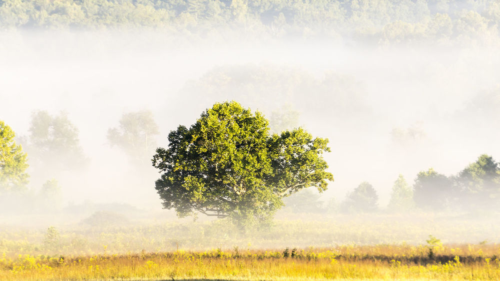 Beauty In Nature Cades Cove Field Fog Foggy Foggy Day Foggy Morning Majestic Mountain Mountains Nature Non-urban Scene Outdoors Remote Scenics Single Tree Solitude Tennessee Tennessee Mountains Tranquil Scene Tree Tree Trees