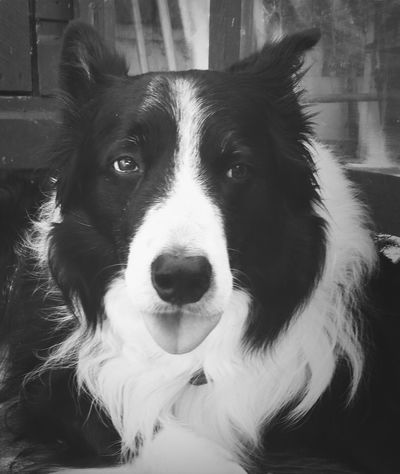 Dog Border Collie Pet Animal