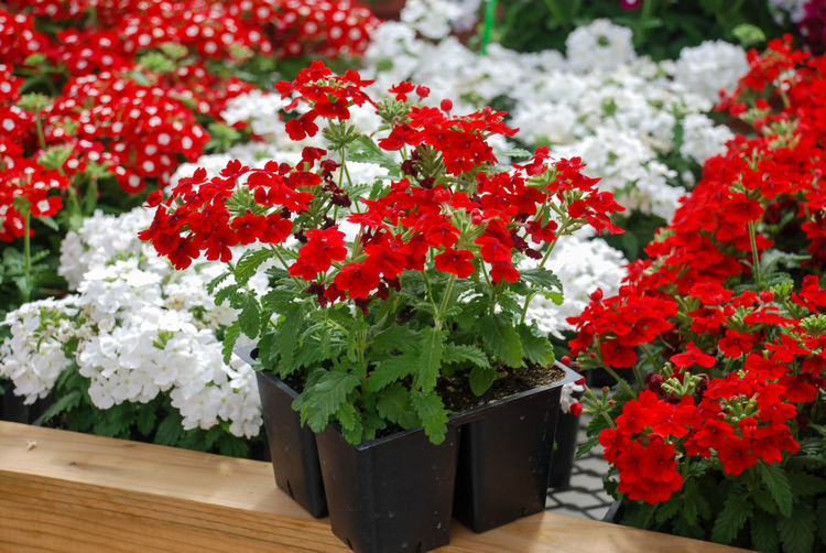 Close-up of red flowering plants in pot